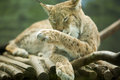 Eurasian lynx licking itself the ranges from central and northern europe across asia since the beginning of the th century the was Royalty Free Stock Image