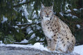 Eurasian lynx (Lynx lynx). Royalty Free Stock Photos