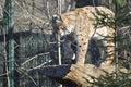 Eurasian lynx, or Lynx lynx Royalty Free Stock Photo