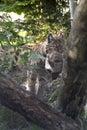 Eurasian lynx (Lynx lynx) with a prey. Royalty Free Stock Photo