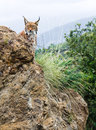 Eurasian lynx in the mountain Stock Photos