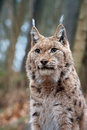 Eurasian lynx portrait of a which he gazes into the distance Stock Image
