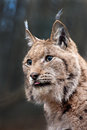 Eurasian lynx portrait of a which sticks out his tongue Stock Photo