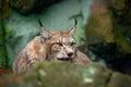 Eurasian Lynx, Portrait Of Wil...