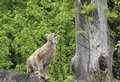 Eurasian lynx ready to jump in front of forest back Stock Images