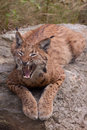 Eurasian lynx showing its teeth Stock Photo