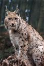 Eurasian lynx is sitting and he looking around Royalty Free Stock Image