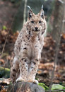 Eurasian lynx is standing on a tree stump Stock Images