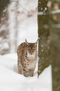 Eurasian lynx winter wood Stock Images