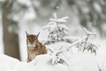 Eurasian lynx winter wood Royalty Free Stock Photos