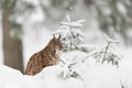 Eurasian lynx winter wood Royalty Free Stock Photo