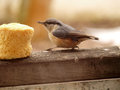 Eurasian nuthatch close up eating biscuit Stock Photos
