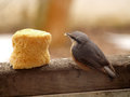 Eurasian nuthatch close up eating biscuit Stock Photography