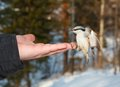 Eurasian nuthatch eating seeds from the palm Stock Photography