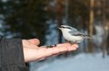 Eurasian nuthatch eating seeds from the palm Stock Photo