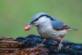 Eurasian nuthatch with a peanut in beak closeup image of sitta europaea holding on burnt log forest Stock Image