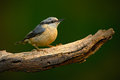 Eurasian nuthatch sitta europaea beautiful yellow and blue grey songbird sitting on the branch bird in the nature forest habita Royalty Free Stock Photo
