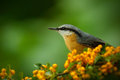 Eurasian Nuthatch, Sitta europaea, beautiful yellow and blue-grey songbird sitting on the yellow flower, bird in the nature forest Royalty Free Stock Photo