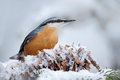Eurasian Nuthatch, Sitta europaea, cute songbird in winter scene, snow flake and nice tree cone and branch, France Royalty Free Stock Photo