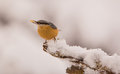 Eurasian nuthatch sitta europaea feeds seed perching branch covered snow Royalty Free Stock Photography