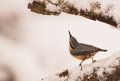 Eurasian nuthatch sitta europaea has discovered something eatable crack frozen branch Stock Photos