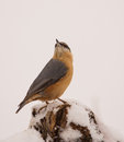 Eurasian nuthatch sitta europaea shows alert active behavior perching snow covered branch Royalty Free Stock Photo