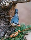 European nuthatch Sitta europaea on a tree bark Royalty Free Stock Photo