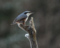 The Eurasian nuthatch, Sitta europaea Royalty Free Stock Photo
