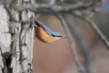 Eurasian nuthatch on the tree Royalty Free Stock Photos