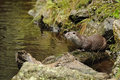 The Eurasian otter Lutra lutra Royalty Free Stock Photo