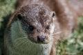 Eurasian Otter (Lutra lutra) Royalty Free Stock Photo