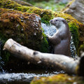 Eurasian otter (Lutra lutra) Royalty Free Stock Photo