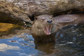 Eurasian otter (Lutra lutra lutra). Royalty Free Stock Photo