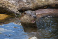 Eurasian otter (Lutra lutra lutra). Royalty Free Stock Photo