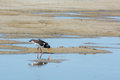 Eurasian oystercatcher in nature water Royalty Free Stock Photo