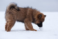 Eurasian puppy in the snow Royalty Free Stock Photo