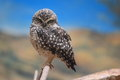 Eurasian Pygmy Owl Stock Photo
