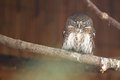 Eurasian pygmy owl Royalty Free Stock Photos
