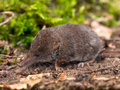 The Eurasian Pygmy Shrew Royalty Free Stock Images