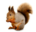 Eurasian red squirrel in front of a white background Royalty Free Stock Photo