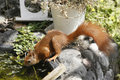 Eurasian red squirrel sciurus vulgaris drinking cute curious young having a drink from little pond water basin little rodent in Royalty Free Stock Images
