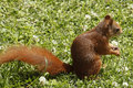 Eurasian red squirrel sciurus vulgaris on the lawn cute curious young meadow grass looking for food little rodent in summer sun Royalty Free Stock Photography
