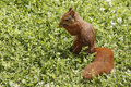Eurasian red squirrel sciurus vulgaris on the lawn eating seeds cute curious young meadow grass looking for food little rodent in Stock Images