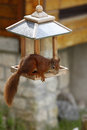 Eurasian red squirrel sciurus vulgaris plundering bird feeder cute curious young is stealing sunflower seeds from skilled little Stock Photography