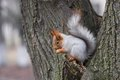Eurasian red squirrel sitting on a tree branch and eating nut Stock Photos