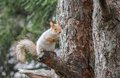 Eurasian red squirrel sitting on a tree branch and waiting for miracle Stock Photography
