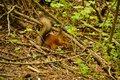 Eurasian Red Squirrel A small squirrel in the woods Royalty Free Stock Photo