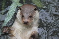Eurasian river otter Stock Photos