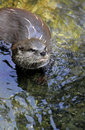 Eurasian river otter is swimming in the water height Stock Images