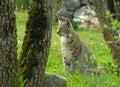 Eurasian rysia Zdjęcie Royalty Free